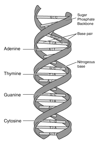Deoxyribonucleic acid, or DNA